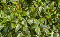 Box-hedging-ireland