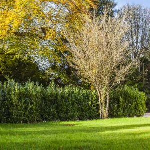 Fully-grown-hedges-ireland-13