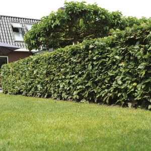 Fully-grown-hedges-ireland-27