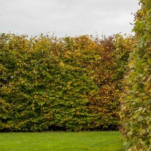 Fully-grown-hedges-ireland-28