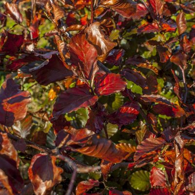 copper-purple-beech-6