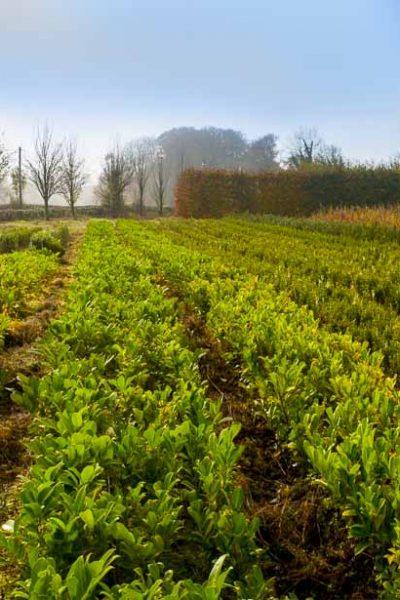 hedge-nursery-12
