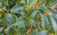 osmanthus-burkwoodii-hedge-ireland