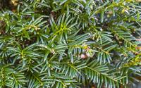 yew-hedging-ireland
